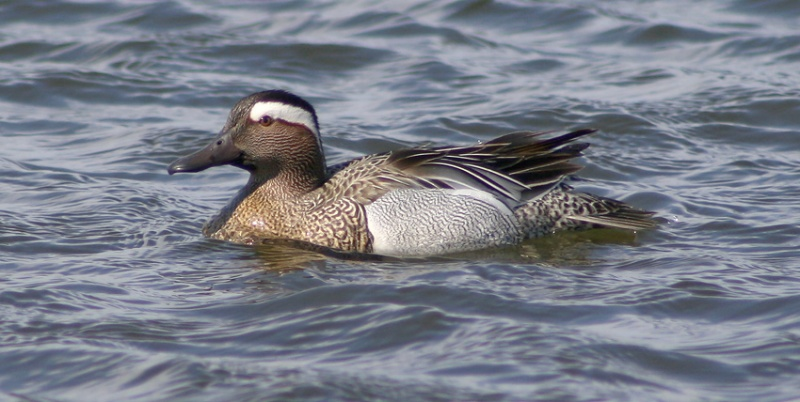 This drake Garganey (ABA Code 4) was in St. John's on May 15-16, 2009 ... and very cooperative for at least a couple hours!