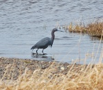 This adult Little Blue Heron was photographed at Point Verde. - Photo: Elizabeth MacDonald (April 25, 2013)