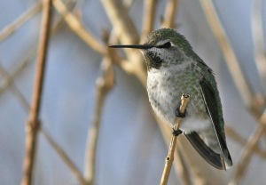 This Anna's Hummingbird was one of the amazing records that highlighted the incredible winter of 2010-11! It was a first provincial record and survived frigid temperatures well into February at a feeder in Brownsdale, Trinity Bay.