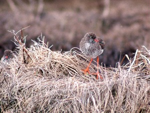 This Common Redshank was one of two at Bonavista in April 1995 - two others were reported in subsequent days at Port Union and Cape Broyle, marking the first records for North America. - Photo: Ken Knowles (April 29, 1995)