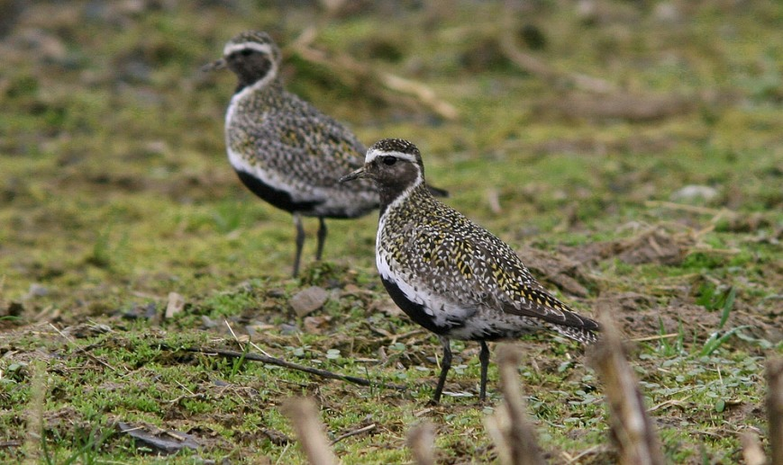 The potential arrival of European Golden Plovers are a much anticipated thing for Newfoundland birders, who keep an eye on the trans-Atlantic weather and and scour fields and barrens along the northeast coast. - Photo: Jared Clarke