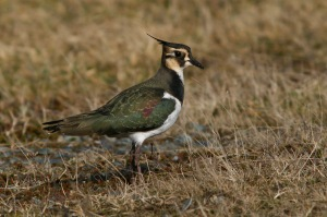 Northern Lapwing occur on a regular basis in Newfoundland - something no other place in North America can claim. This one was at Portugal Cove South in December, 2010.- Photo: Jared Clarke