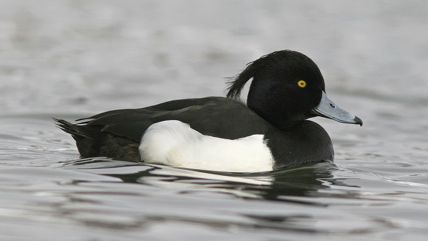 Tufted Duck are a regular part of the winter in St. John's, likely originating in Iceland. - Jared Clarke