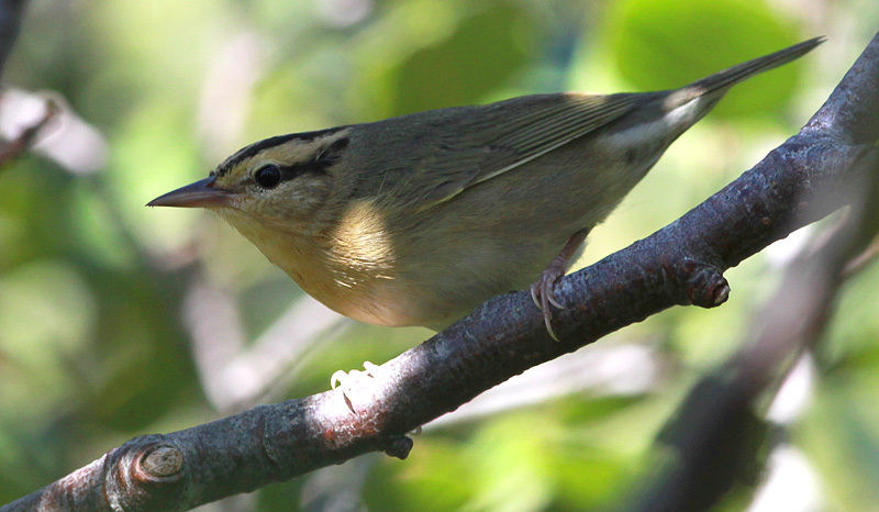This Worm-eating Warbler, photographed near Cappahayden on September 10, 2014, was the island's sixth record. - Photo: Bruce Mactavish