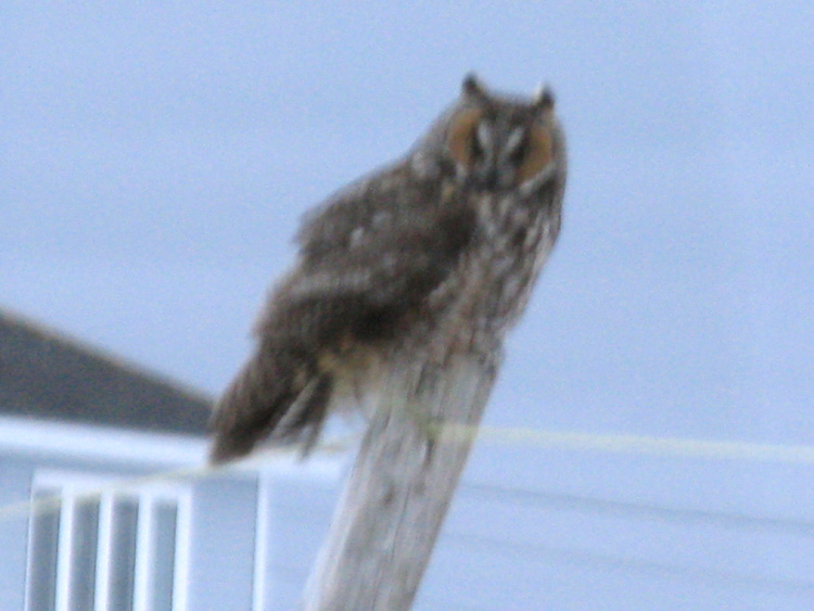 This Long-eared Owl was photographed at dusk through a window in Portugal Cove South on February 23, 2013. It marked the fifth confirmed record for Newfoundland. - Photo: Julie Cappelman