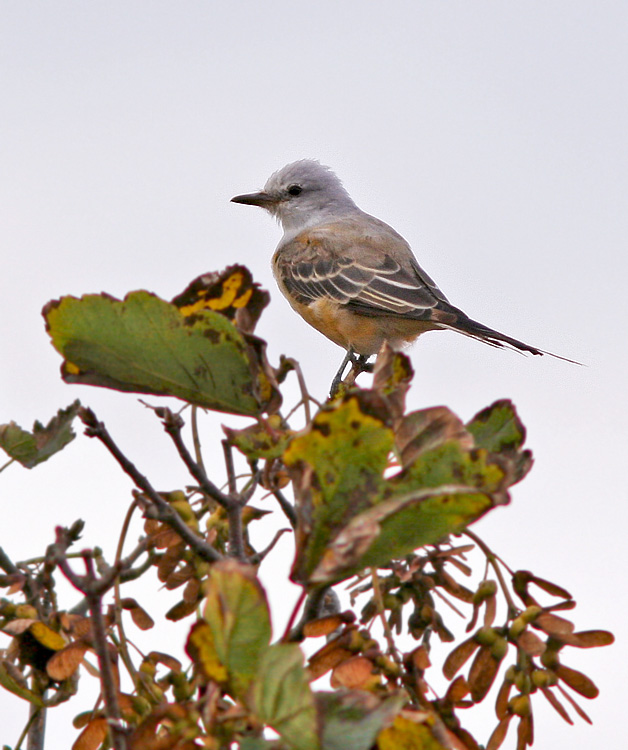 This moulting adult Scissor-tailed Flycatcher marked the second record for the province, but the first that was able to be enjoyed by birders. And enjoyed, it was! - Photo: Jared Clarke (Torbay; October 10, 2013)