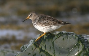 This Purple Sandpiper, on the other had, is one of the winter visitors we look forward to every year - a hardy soul, nonetheless.- Photo: Jared Clarke (March 20, 2009)