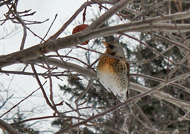 This Fieldfare was spotted feeding on apples in a Reidville backyard sporadically between mid-December 2012 and January 26, 2013 - the first record since 1999.Photo: Gerard Butler (January 19, 2013)