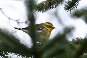This hardy little Townsend's Warbler has been feeding along a small section of trail along the lowest portion of the Waterford River for a week now - amazingly the 11th record for this short stretch of river valley.- Photo: Jared Clarke (January 1 2013)