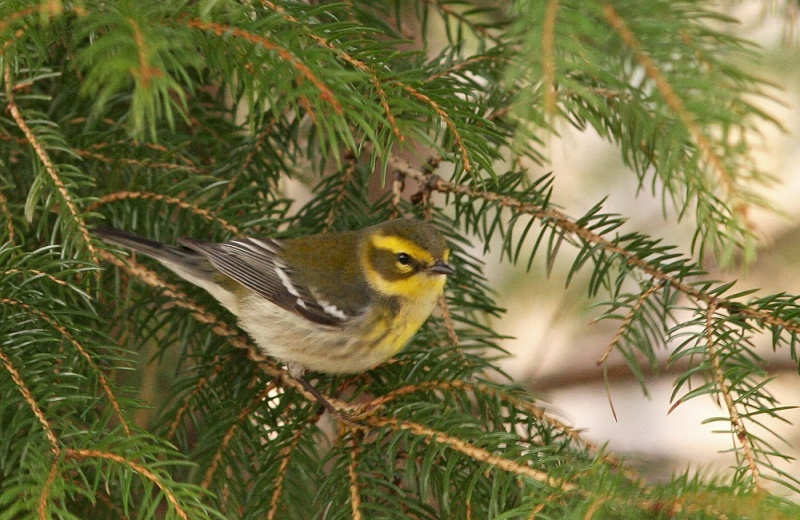 Townsend's Warbler - while very rare in eastern North America, has been recorded an incredible 17 times in eastern Newfoundland! (This one, photographed on January 1 2013, was the 16th.)