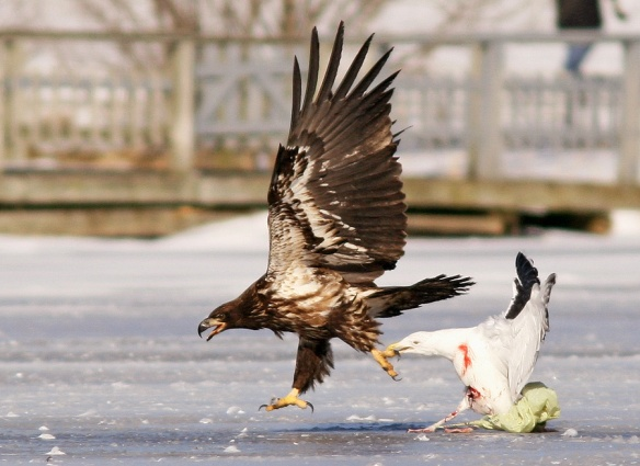 This unfortunate Great Black-backed Gull was an easy meal for a Bald Eagle, unable to escape with a plastic grocery bag entangled around its leg. It did put up a valiant fight, though.- Photo: Jared Clarke (February 2013)