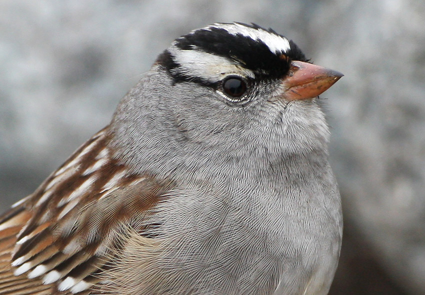 """Apparent """"Gambel's"""" White-crowned Sparrows in Newfoundland ..."""