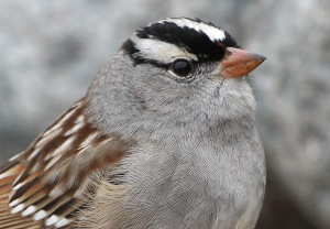 Note the dark/maroon bill and black lores on this typical eastern White-crowned Sparrow, photographed on the Avalon Peninsula in late May.- Photo: Bruce Mactavish