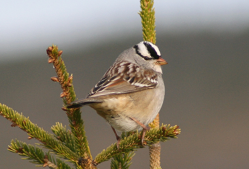 Another example of a typical eastern White-crowned Sparrow, showing off its dull/pinkish bill and black lores. This individual was spotted during spring migration at the easternmost point in North America - Cape Spear.- Photo: Jared Clarke (May 28, 2009)