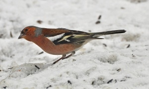 This male Common Chaffinch was first reported in Corner Brook on March 16, but has apparently been visiting the backyard for several weeks. This marks a fourth record for Newfoundland!- Photo: Darroch Whitaker (March 17, 2013)