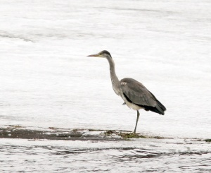 The immature Gray Heron arrived at Little Heart's Ease in early March, marking the second record for the province. - Photo: Jared Clarke (March 10 2013)