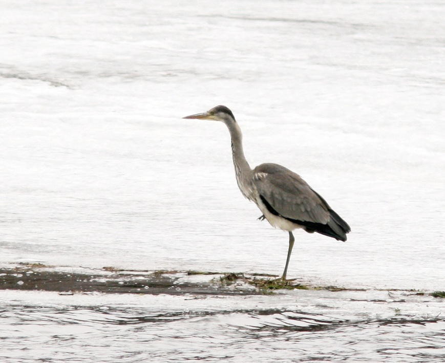The immature Gray Heron arrived at Little Heart's Ease in early March, marking the second record for the province.- Photo: Jared Clarke (March 10 2013)