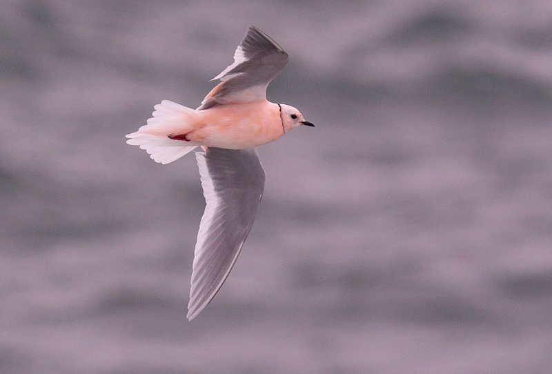 This adult Ross's Gull, present in Torbay on April 29-30, 2014, was enjoyed by many local birders. - Photo: Bruce Mactavish
