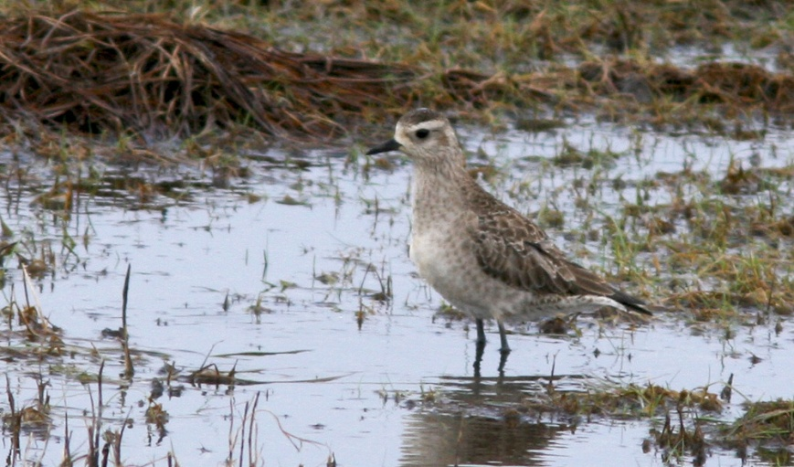 The dull plumage of this American Golden Plover is in stark contrast to the bright breeding plumage that the more expected European Golden Plovers are wearing when they show up here in spring. - Photo: Jared Clarke (April 17, 2013)