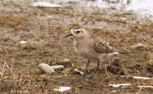 This American Golden Plover marked just the third spring record for Newfoundland - a great but unexpected bonus for the day. - Photo: Jared Clarke (April 17, 2013)
