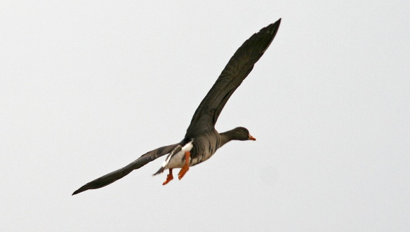 A very wary Greater White-fronted Goose flies a little further afield after we pull the car to a stop in Biscay Bay. - Photo: Jared Clarke (April 17, 2013)