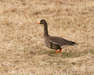 The overall dark upperparts, plain back (due to relatively thin white fringes on the mantle feathers) and orange-yellow bill indicate that this goose of the flavirostris race that breeds in Greenland. - Photo: Jared Clarke (April 17, 2013)