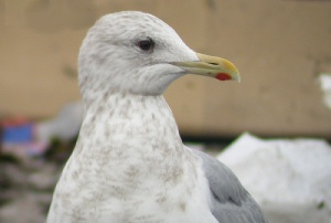 Close-up photos show that the eye is in fact completely dark, and the pupil only discernable in direct light. The blotchy head streaking is also more consistent with Thayer's rather than Kumlien's Gull.- Photo: Jared Clarke (March 12, 2006)