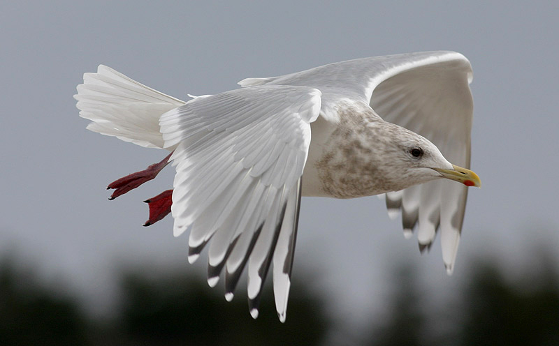 The wingtip pattern is a good fit for Thayer's Gull, including a partial subterminal bar at the tip of P10, a complete black leading edge to P9 (i.e. the mirror does not span both webs) that reaches the primary coverts, and a small black mark on P5 – all features that are inconsistent with Kumlien's Gull. There is minimal contrast between the darkness of the inner and outer webs on P10 – another good mark for a true Thayer's Gull and a feature found on very few other candidates.- Photo: Bruce Mactavish (March 12, 2006)
