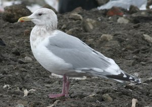 This bird immediately gives the impression of a classic Thayer's Gull – strong, with a squared off head, sloping forehead and relatively long, hooked bill. The folded wingtips appear black rather than the charcoal grey sometimes exhibited by Kumlien's Gulls. The mantle was slightly darker than nearby Herring Gulls and the legs a bright, deep purple.- Photo: Jared Clarke (March 12, 2006)