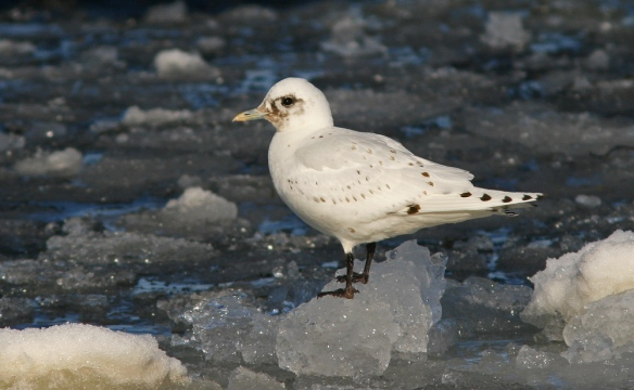 Ivory Gulls are one of my favourite birds ... incredibly beautiful and mysterious. It is an endangered species that breeds in the high arctic in parts of Canada, Greenland and Europe - sometimes wandering further south in late winter.