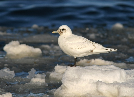 The iconic Ivory Gull - one of my favourite birds! - Photo: Jared Clarke (March 31, 2013)
