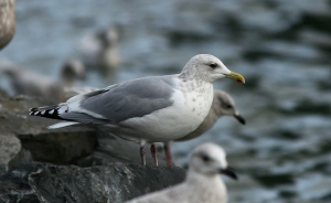The staring dark eye and dark black wingtips make this bird look like a perfect candidate for Thayer's Gull. It's difficult to argue that a Kumlien's Gull could ever look like this.- Photo: Dave Brown (January 8, 2010)