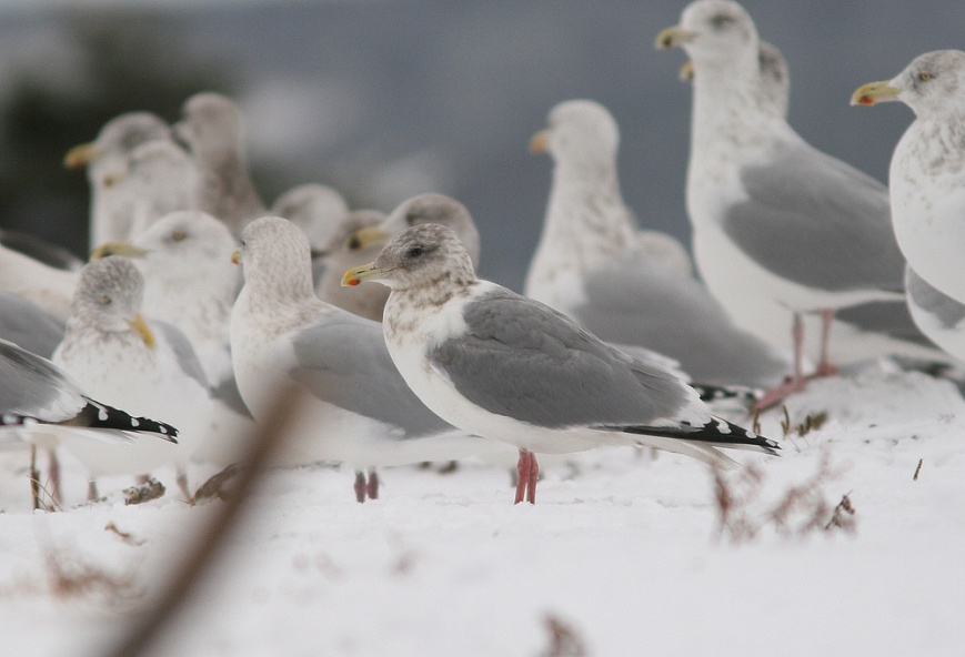 As in most cases, the combination of a dark eye, black folded wingtips and slightly darker grey mantle makes Thayer's Gull candidates like this one stand out from local Herring and Kumlien's Gulls. An initial strike against this individual, however, is its petite structure – not necessarily out of the range of normal for a Thayer's Gull, but not at all helpful in eliminating the possibility of an extreme Kumlien's Gull or hybrid combination. - Photo: Jared Clarke (January 2, 2012)