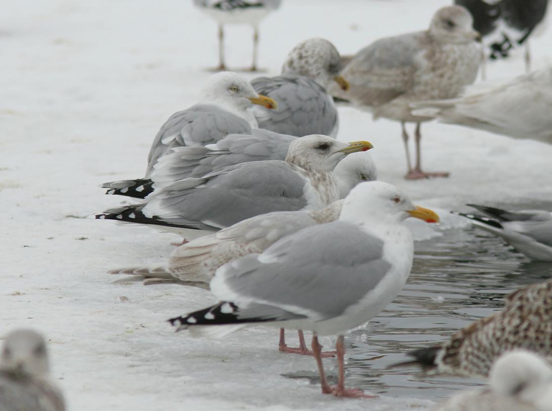 Thayer's Gull |Thayers Gull