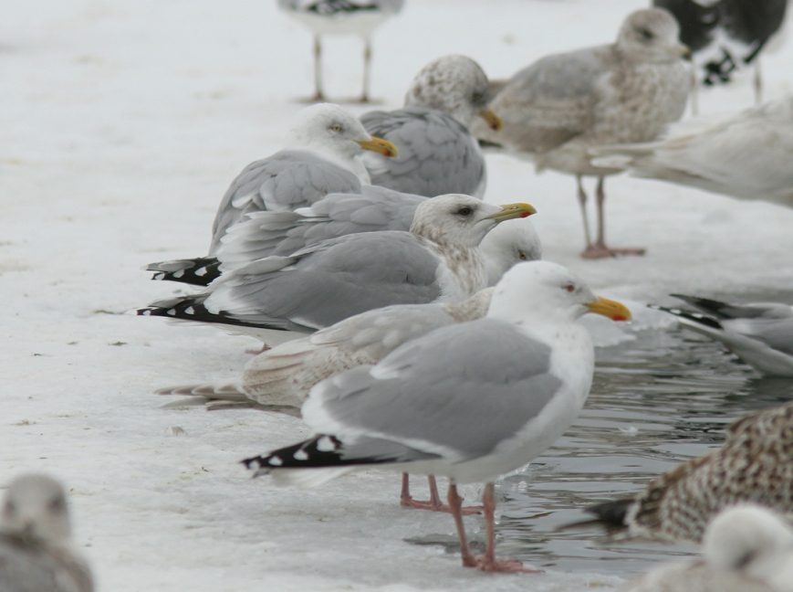 This is the same gull featured in the photo at the introduction of this post. The Herring Gull-like structure, dark eye and black folded wingtips make this bird stand out as obviously different in a typical St. John's gull flock. The mantle appears as dark as, or maybe a shade darker than, nearby Herring Gulls.  - Photo: Dave Brown (February 2011)