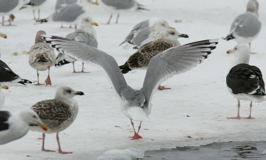 Once again, the paler inner webs of P10 raise concerns about an otherwise Thayer's-like wingtip pattern. While a fully white tip to P10 is shown by ~##% of Thayer's Gulls, the presence of dark subterminal markings would help rule out Kumlien's Gull.  - Photo: Dave Brown (February 2011)