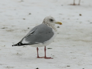 What am I?? On the west coast of North America this gull would appear like a perfect, run-of-the-mill Thayer's Gull. The problem is, it was photographed in St. John's, Newfoundland -- where any such beast begs detailed examination. And we all know that the devil is in those details …- Photo: Dave Brown (February 2, 2011)