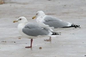 Compared to Herring Gull (background) note the dark eye, deep purple legs, similar head shape and similar jet-black wingtips when folded. The gonydeal angle is relatively stronger than one might expect of Kumlien's Gull.- Photo: Jared Clarke (March 1, 2009)