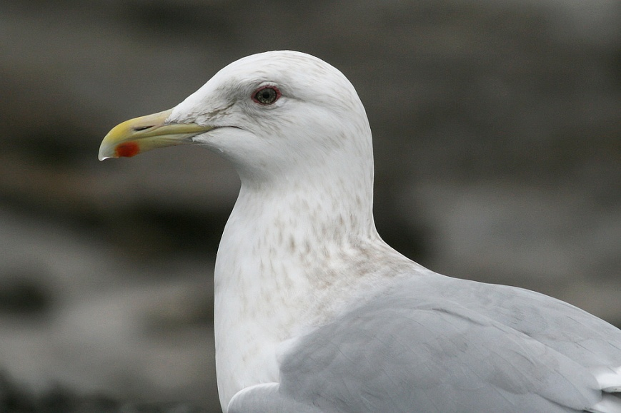 "A close-up of the eye reveals a lot of dark flecking against a paler iris – not the completely dark eye that would be considered ideal in order to ""nail"" a Thayer's Gull here on the east coast (but admittedly not atypical of that species, either).- Photo: Jared Clarke (March 1, 2009)"