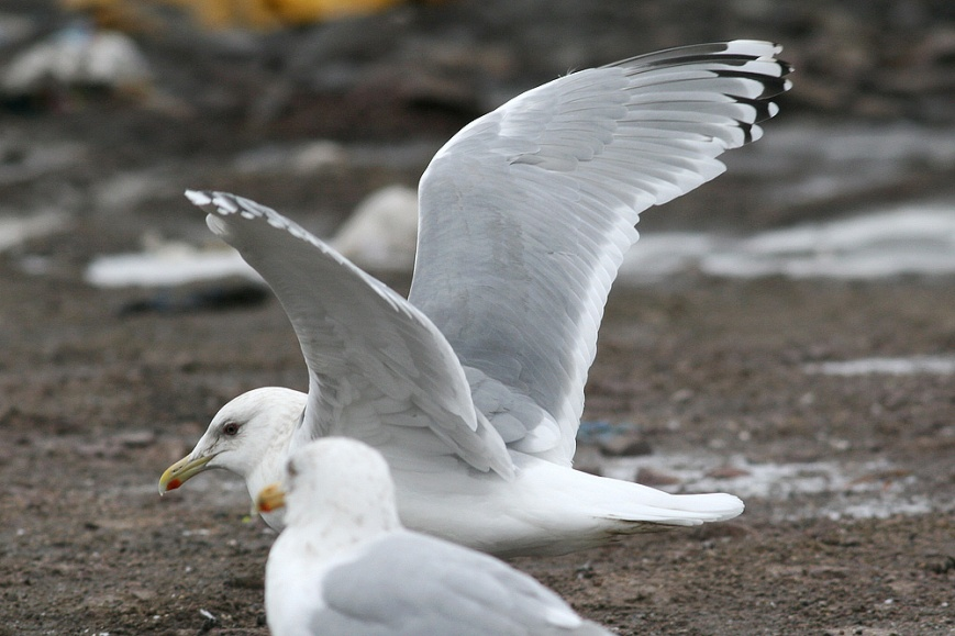 The most significant knock against this bird is the lack of a completely black leading edge to P9. Instead, the mirror spans both webs – a trait shown only by a minority of Thayer's Gulls and making it more difficult to rule out an extreme Kumlien's Gull or intergrade. The notable contrast between the black outer web of P10 and the much greyer inner web is similarly problematic.- Photo: Jared Clarke (March 1, 2009)