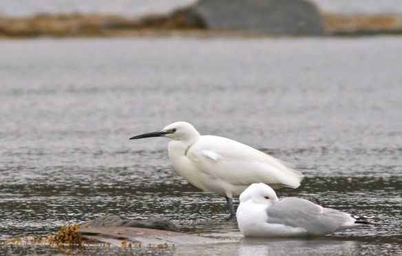 This Little Egret marks the 9th record for Newfoundland. - Photo: Jared Clarke (Fair Haven; May 18, 2013)