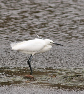 The all grey lores and two long head plumes help distinguish this Little Egret from its North American cousin, the Snowy Egret. - Photo: Jared Clarke (Fair Haven; May 18, 2013)
