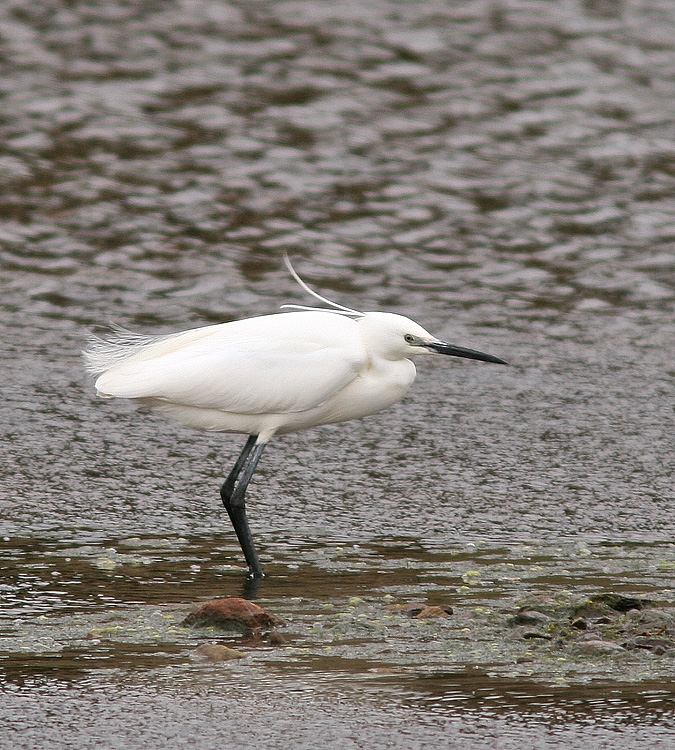 This Little Egret, one of two that spent some time in Fair Haven this spring, was a great addition to my Newfoundland list. - Photo: Jared Clarke (May 18, 2013)