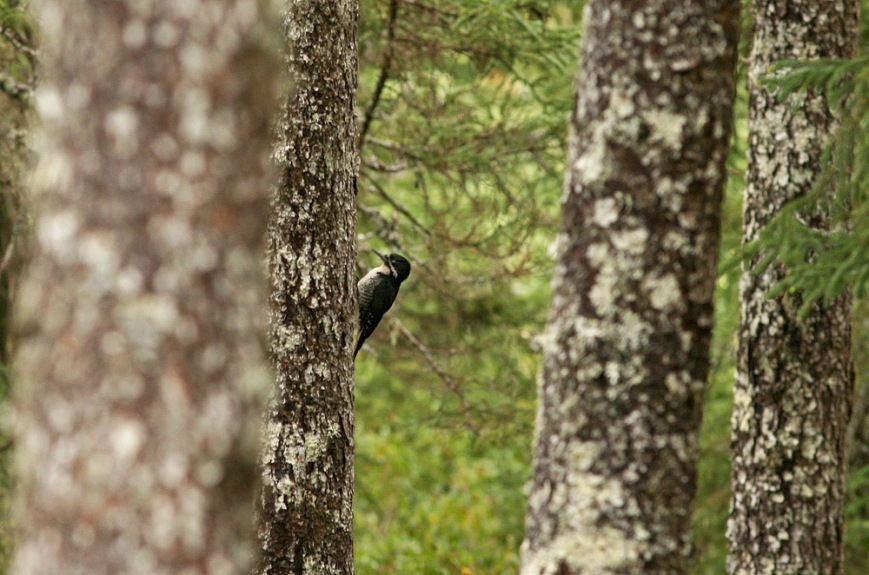 A female Black-backed Woodpecker was being very vocal, suggesting a nearby nest.