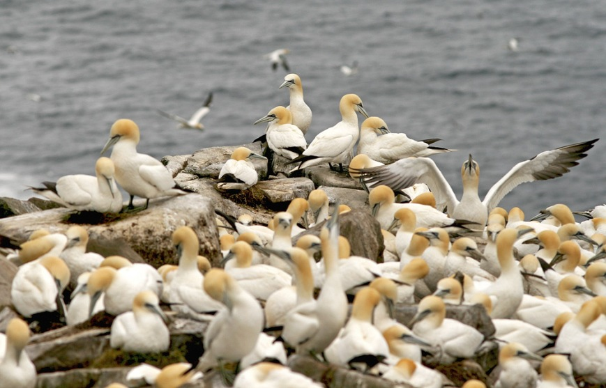 Cape St. Mary's Ecological Reserve is home to one of North America's largest, and most accessible, Northern Gannet colonies.