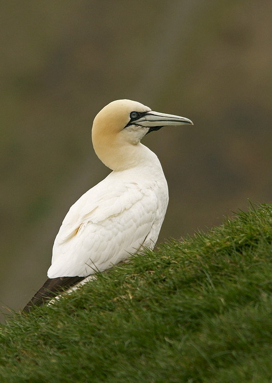 Northern Gannets arrive at Cape St. Mary's in May and stay until mid-September.