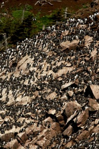 The incredible murre colonies of Witless Bay Ecological Reserve