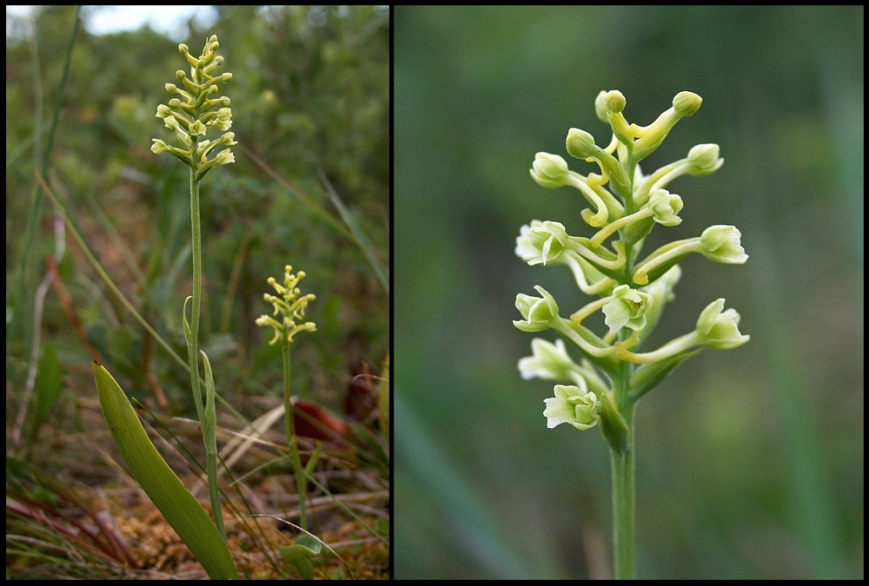 A small, understated flower, the Clubspur Orchid (Platanthera clavellata) is common across most of the island.