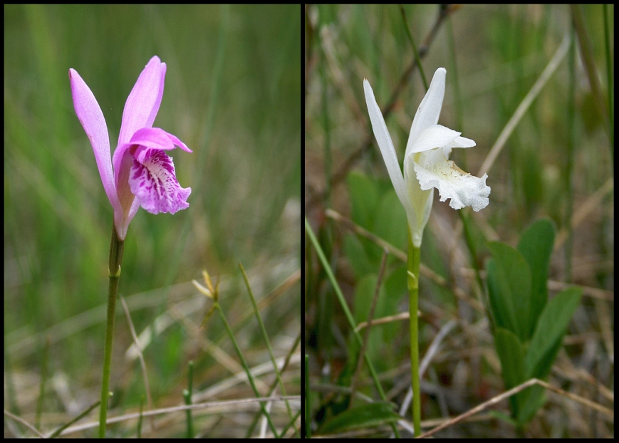 The beautiful Dragon's Mouth Orchid (Arethusa bulbosa) occurs in a range of colours from the common pink form (left) to the much more uncommon white form (right).