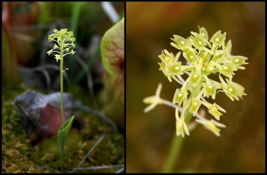 A very tiny orchid, Green Adder's Mouth Orchid (Malaxia unifolia) is easily overlooked. It is relatively rare even where it occurs, including on the Avalon Peninsula where these were photographed.
